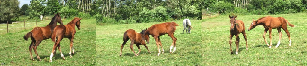 Sinnkosako (Anabaa - Reinamixa, Natagora's mother) foal, playing with another chesnut foal.